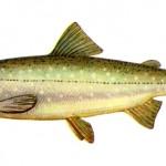 Зимняя рыбалка на реке — голец