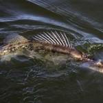 Судак рыба — советы «спецов»