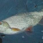 Рыба плотва — 5 способов ловли крупной плотвы