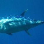 Рыбалка в Африке — тунец