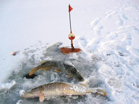 Щука на озерах на зимнюю жерлицу
