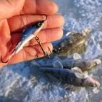 Зимняя ловля судака на балансир