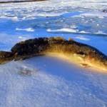 Зимняя охота со стукалкой в поисках налима