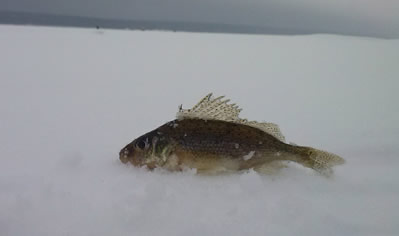 Как ловить ерша зимой?