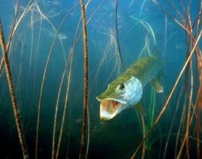 царица рыб