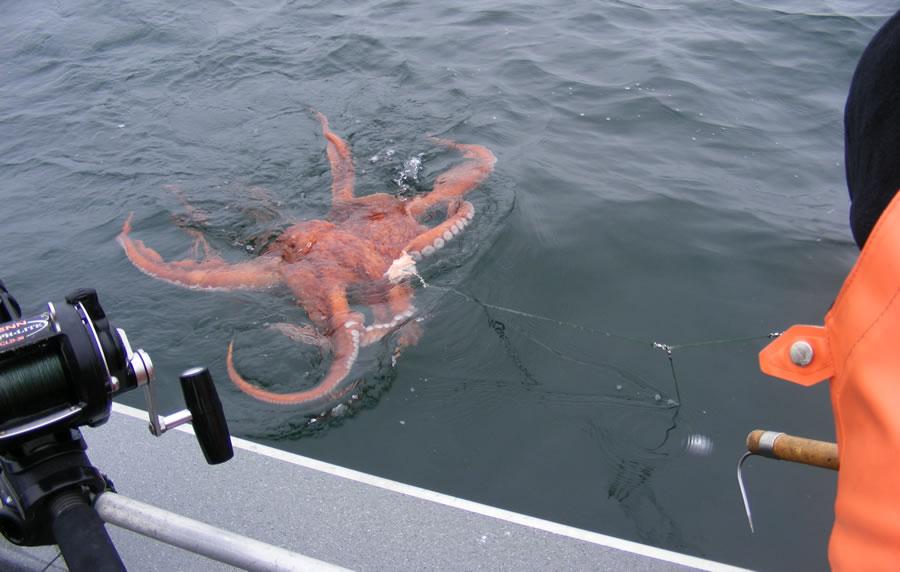 ловить осьминога