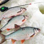Особенности зимнего клева плотвы, леща и других видов рыб.