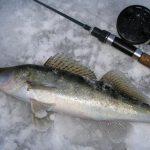 Ловля судака зимой на ратлины